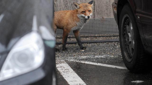 Un renard se promène dans le centre de Berlin, le 14 janvier 2011 [Joerg Carstensen / AFP/Archives]