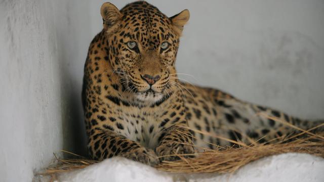 Un léopard dans un zoo en Inde [Sam Panthaky / AFP/Archives]