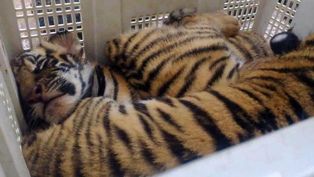 La police thaïlandaise a découvert six tigres en mauvaise santé dans des cages entreposées sur le toit d'un immeuble dans une zone industrielle au nord de Bangkok, a-t-elle annoncé lundi. [AFP]