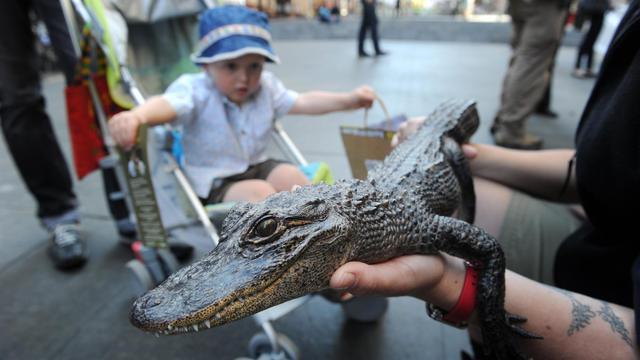 Un jeune crocodile est présenté au public dans un zoo australien [Romeo Gacad / AFP/Archives]