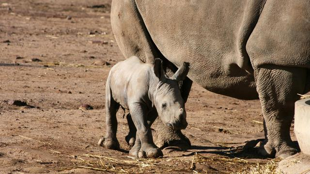 Photo transmise le 21 mai 2013 par le zoo de Taronga, en Australie, d'un bébé rhinocéros blanc [Taronga Zoo / Taronga Zoo/AFP]