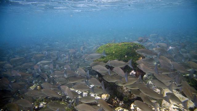 Un ban de poissons dans l'archipel des Galapagos [Pablo Cozzaglio / AFP/Archives]