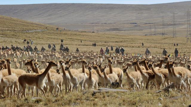 Des vigognes le 19 juin 2010 au Pérou [Cris Bouroncle / AFP/Archives]