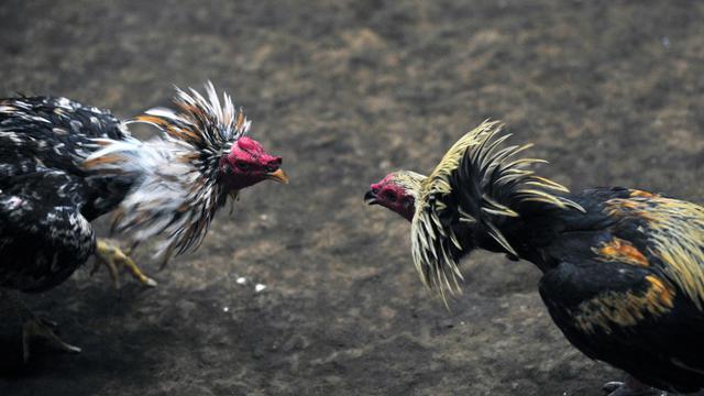 Combat de coqs le 12 août 2012 à Managua [Hector Retamal / AFP/Archives]