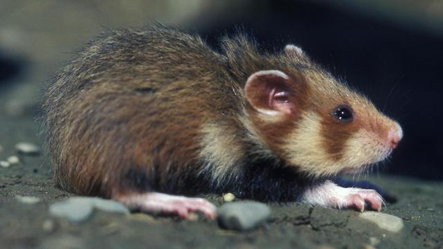 Photo prise le 1er août 1999 d'un grand hamster d'Alsace sortant de son terrier près de Blaesheim dans le Bas-Rhin [Gerard Baumgart / AFP/Archives]