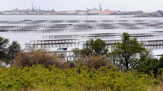 """La préfecture de l'Hérault a annoncé vendredi avoir suspendu provisoirement la récolte et la commercialisation des huîtres et des moules en provenance de l'étang de Thau en raison """"des résultats d'analyses microbiologiques supérieurs à la norme autorisée"""". [AFP]"""