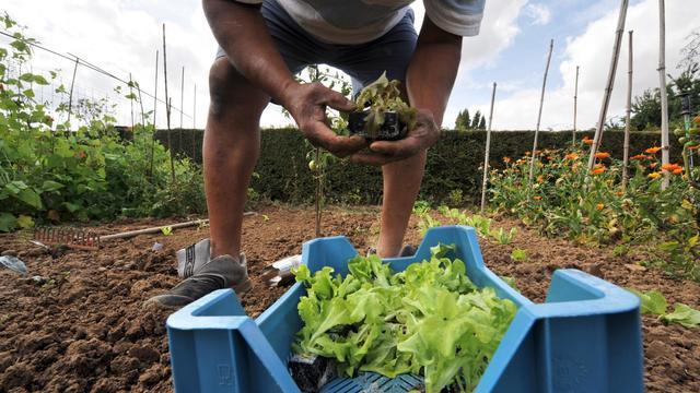 Un homme cultive des salades dans un jardin partagé à Hérouville-Saint-Clair, le 21 août 2009 [Mychele Daniau / AFP/Archives]