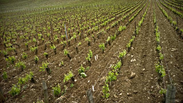Des vignes de la parcelle Romanée-Conti, à Vosne-Romanée [Jeff Pachoud / AFP/Archives]