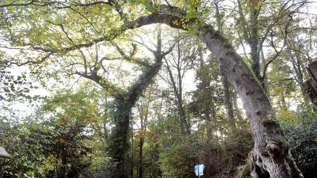 Un chêne pédonculé de 200 ans dans la forêt de Fouesnant, le 6 novembre 2011 [Fred Tanneau / AFP/Archives]