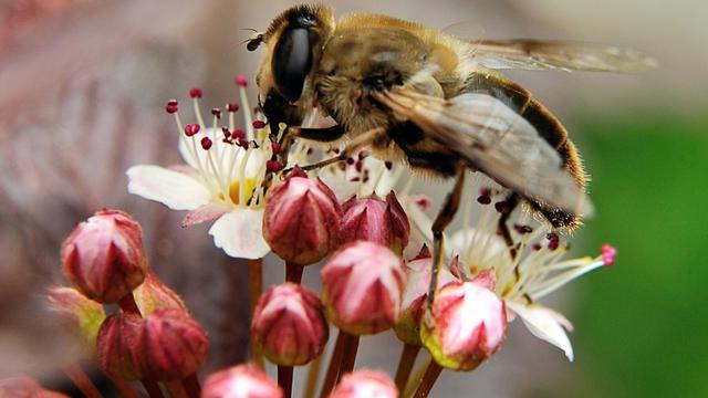 Une abeille [Philippe Huguen / AFP/Archives]