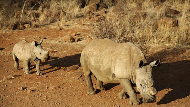 Le massacre des rhinocéros s'est encore accéléré en Afrique du Sud, 381 animaux ayant été abattus dans le pays depuis le début de l'année, a indiqué mardi le ministère de l'Environnement. [AFP]