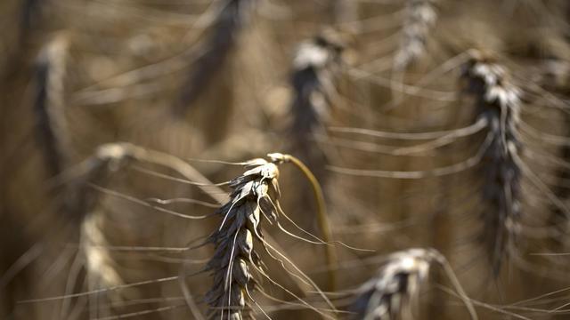 Des épis de blé dans un champ du nord de la France [Joël Saget / AFP/Archives]