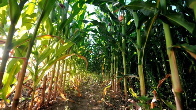Un champ de maïs [Philippe Huguen / AFP/Archives]