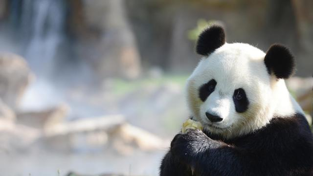 Un panda géant [Alain Jocard / AFP/Archives]