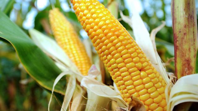 Du maïs dans un champ [Philippe Huguen / AFP/Archives]