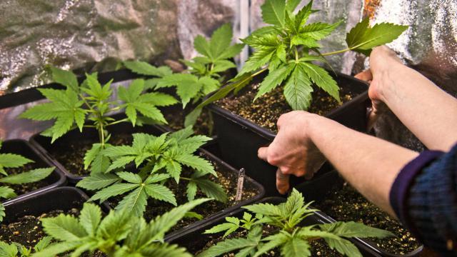 Des plants de cannabis