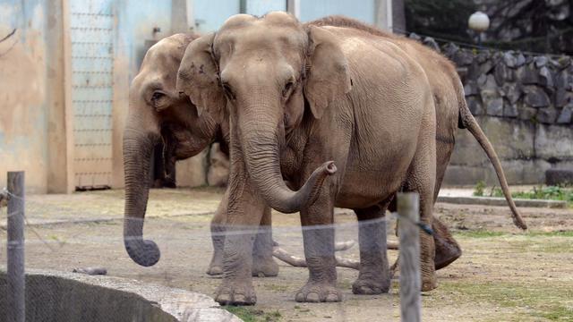 Les deux éléphantes du zoo de Lyon, le 6 janvier 2013 [Philippe Desmazes / AFP/Archives]