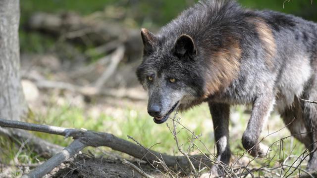 Un loup [Jean-Christophe Verhaegen / AFP/Archives]