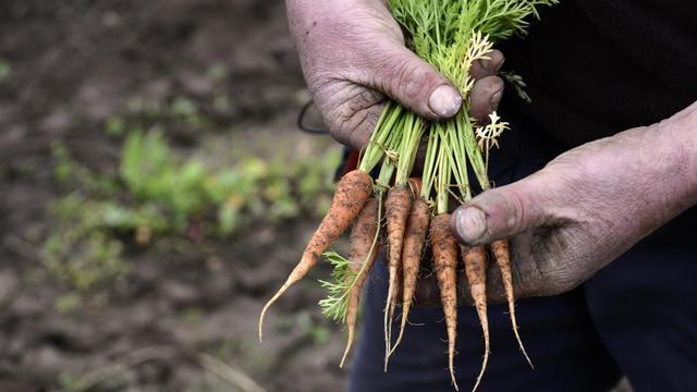 Vincent Béroujon, maraîcher dans le Rhône, montre des carottes peu développées à cause du mauvais temps, le 29 mai 2013 à Limas près de Lyon [Philippe Desmazes / AFP]