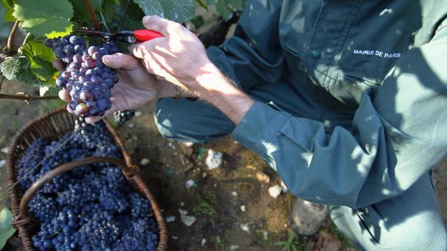 Un employé de la mairie de Paris cueille du raisin lors de vendanges en 2004 dans la capitale française [Mehdi Fedouach / AFP/Archives]