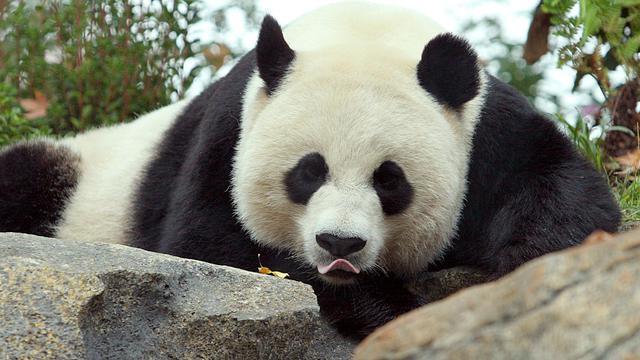 Mei Xiang, la panda géant, le 11 octobre 2006 au zoo de Washington [Karen Bleier / AFP/Archives]