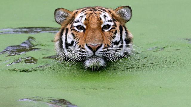 Un tigre sauvage.