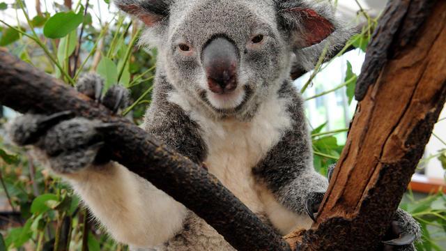 Un koala dans un refuge à Brisbane