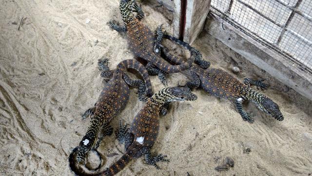 Sept dragons de Komodo sont nés en Indonésie.