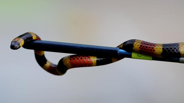 Serpent corail