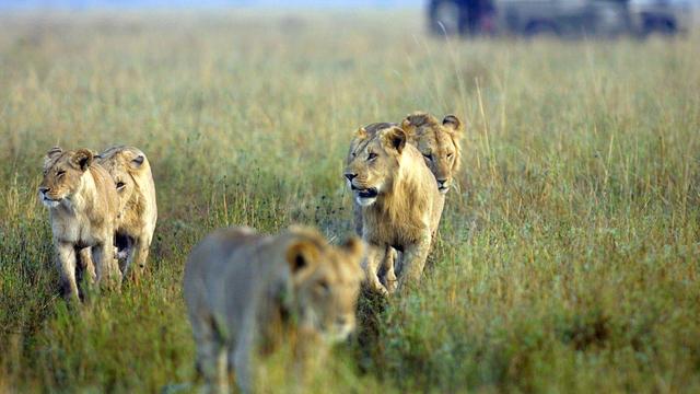 Les autorités locales ont annoncé que les lions seraient réintégrés à la réserve après leur capture.