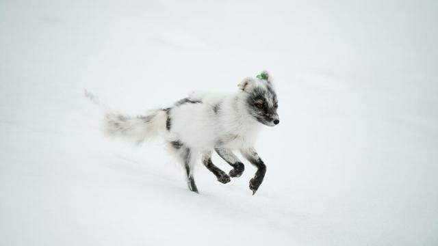 Le renard polaire a parcouru en moyenne 46 km par jour, atteignant même une fois 155 km en une seule journée.