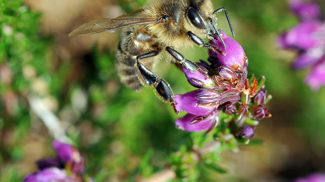 Selon les spécialistes, les abeilles ont peur de l'odeur des chevaux