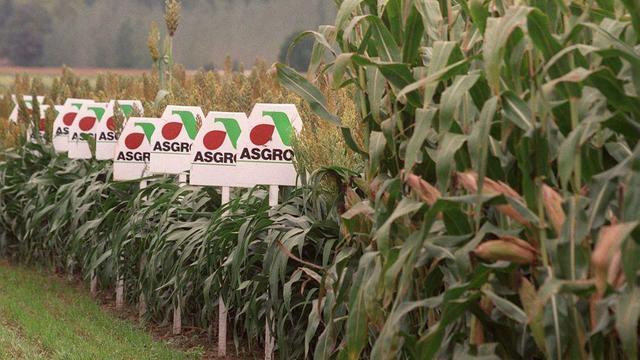 Maïs génétiquement modifié