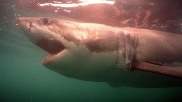 Un requin blanc.