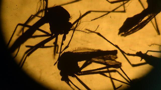 Moustiques de type Aedes photographiés dans un laboratoire le 3 février 2016 à El Salvador au Salvador [ / AFP/Archives]