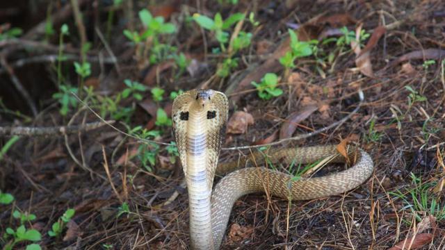 Pour se venger, un paysan népalais a mordu un cobra et l'a tué