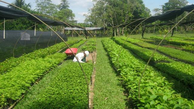 Pépinière au Pérou préparant des plants d'arbre pour des programmes de reforestation afin de comenser des émissions de CO2 [- / AFP/Archives]
