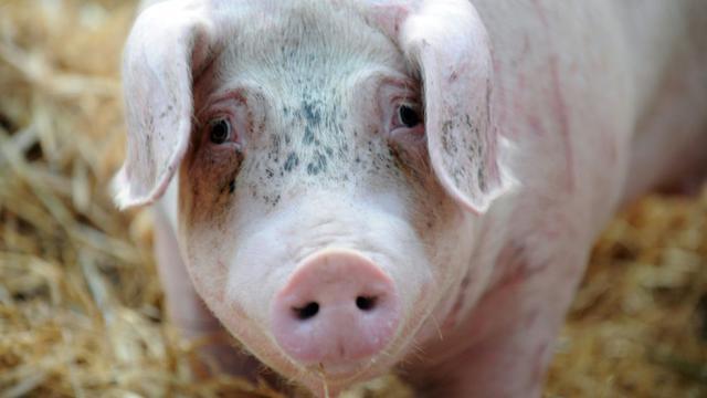 Un cochon photographié pendant une manifestation d'éleveurs à Saint-Brieuc en Bretagne le 2 juillet 2015 [Fred Tanneau / AFP/Archives]