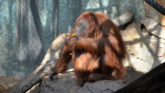 En cause selon le collectif ? La présence d'orang-outans de Bornéo, pensionnaires du zoo du Jardin des Plantes de Paris.