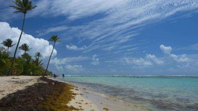 Des algues sargasses sur la plage de Sainte Anne en Guadeloupe le 23 avril 2018  [Helene VALENZUELA / AFP/Archives]
