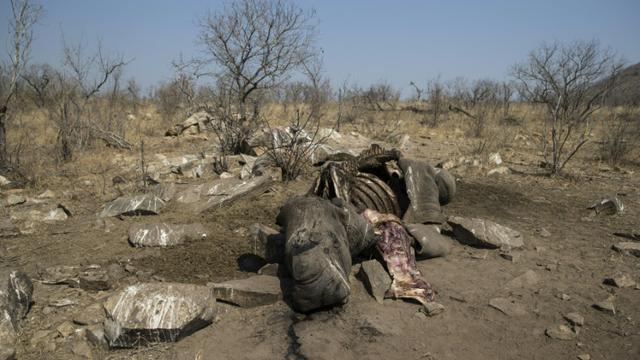 La carcasse d'un rhinocéros blanc abattu par des braconniers pour récupérer ses cornes, dans le parc national Kruger, en Afrique du Sud, le 21 août 2018.  [WIKUS DE WET / AFP/Archives]