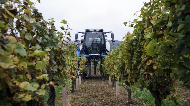 La filière viticole s'attend à une récolte française de vin en hausse en 2014 par rapport à l'an dernier à 45,4 millions d'hectolitres, dans la moyenne quinquennale [Sébastien Bozon / AFP/Archives]