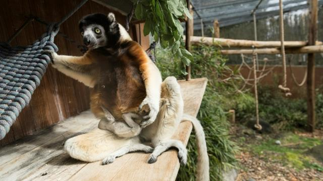 Poppy, maman d'un propithèque couronné (Propithecus coronatus) de la famille des lémuriens né mi-février, allaite son bébé, le 5 mars 2019 au parc zoologique de Mulhouse [SEBASTIEN BOZON / AFP]
