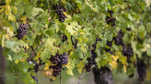 La filière viticole française face au défi de la baisse des pesticides [PATRICK HERTZOG / AFP/Archives]