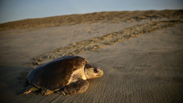 Une tortue de mer (Lepidochelys olivacea) arrive pour pondre à l'aube sur la plage de Morro de Ayuta, dans l'Etat mexicain de Oaxaca, le 11 septembre 2015 [RONALDO SCHEMIDT / AFP]