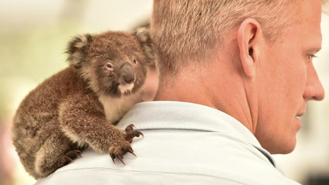 Un koala orphelin sur l'épaule d'un vétérinaire dans la clinique de campagne dans la réserve zoologique Wildlife Park de l'île Kangourou, le 14 janvier 2020 [PETER PARKS / AFP]