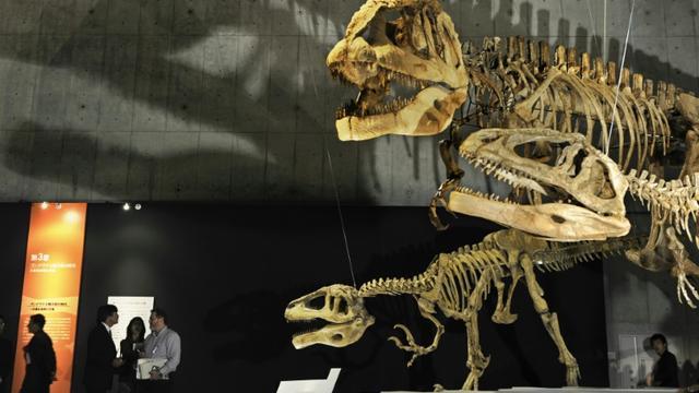 Squelette d'un mégaraptor (g), et d'un mapusaurus (c et d) lors d'une exposition au musée des Sciences de Tokyo, le 13 mars 2009  [Kazuhiro Nogi / AFP/Archives]