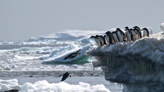 Des manchots Adélie en Antarctique, le 2 mars 2018 [Rachael Herman / Stony Brook University/AFP/Archives]