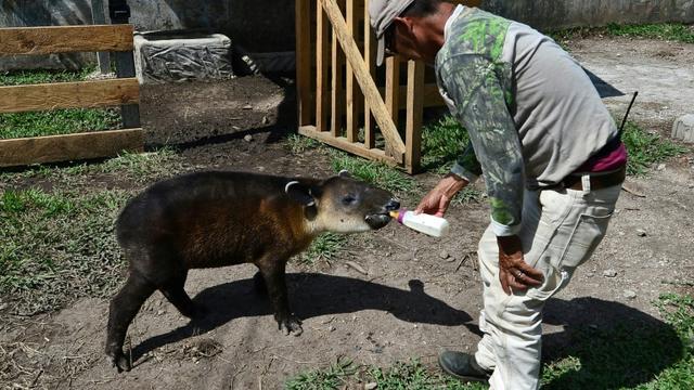 Un jeune tapir est alimenté par un gardien du zoo Joya Grande à Santa Cruz de Yojoa, au Honduras [ORLANDO SIERRA / AFP]