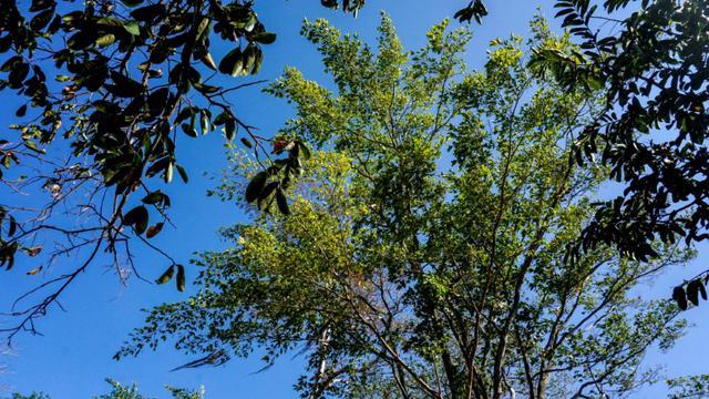Un guaimaro, immense arbre tropical, le 28 février 2018 à Dibulla, en Colombie  [Luis ACOSTA / AFP]
